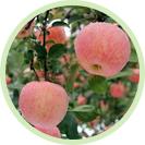 山东烟台红富士苹果